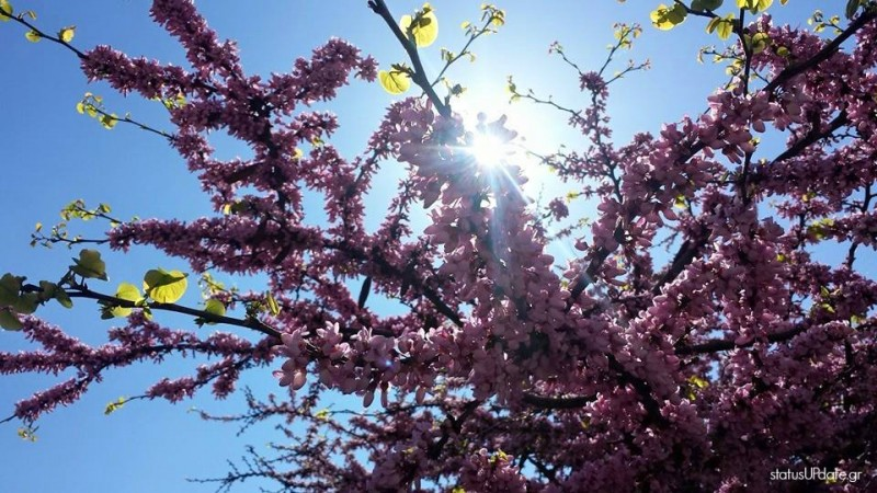 Κότσικας-Κουτσουπιά-Δέντρο Του Ιούδα